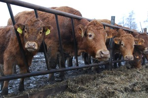 System QMP ma zwiększyć zaufanie do wołowiny