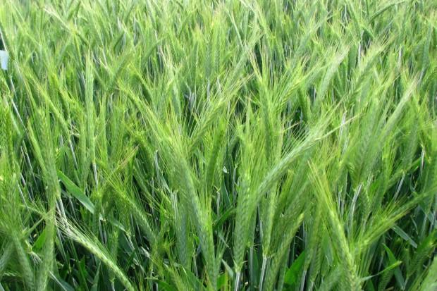 Polecane odmiany pszenżyta ozimego na rok 2013