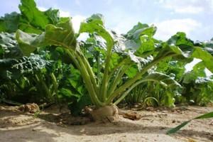 Buraki cukrowe dadzą niższy plon przez pogodę niż przewidywano