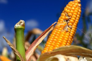 Dobór odmian: plenność i odporność na choroby
