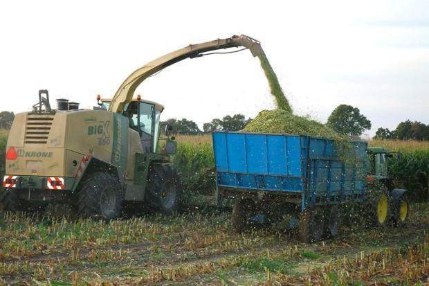 Czego szukać w kiszonce z kukurydzy?