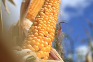 Standardowe postępowanie na plantacji kukurydzy