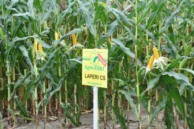 Efekt stay green w odmianach Agroefekt