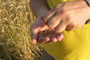Dokładne zestawienie cen zbóż