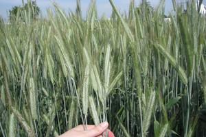 Plonowanie odmian żyta – 2013 r.