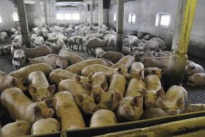 W skupach wieprzowiny dominuje tendencja spadkowa