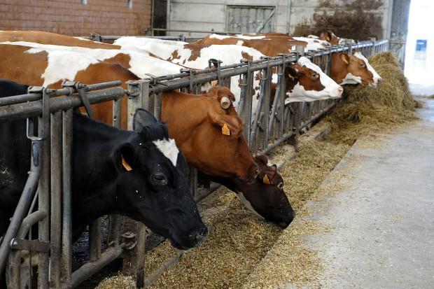Zasuszenie krowy mlecznej – czy to takie proste?