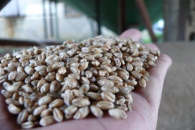 Dostępność ziarna zbóż