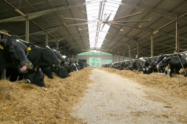 200 krów na głębokiej ściółce
