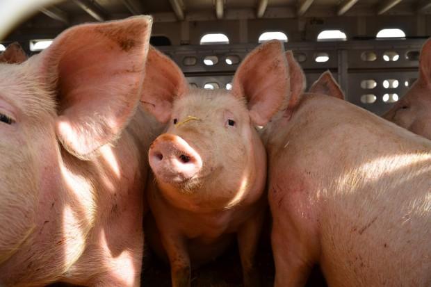 Polska buduje duński eksport żywych świń