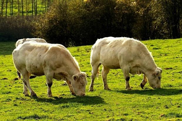 Produkcja bydła w UE mniejsza prawie o 4 proc.