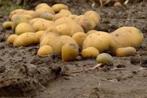 Ziemniaki porażone przez choroby