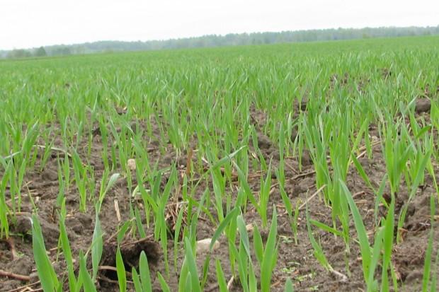 Na południu pszenica siana po uprawach późno schodzących z pola