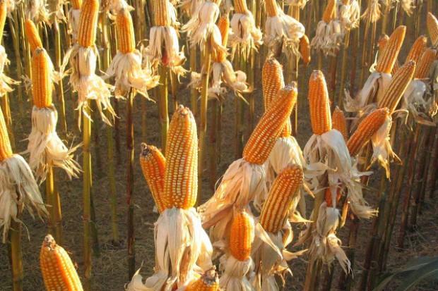 Mocna przecena kukurydzy, za mocna?