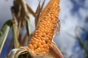 Możliwe głosowanie ws. zatwierdzenia kukurydzy 1507