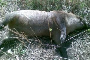 Aktualna sytuacja epizootyczna ASF na terenie Rosji
