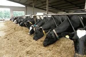 Pierwsza grupa technologiczna – krowy świeżo wycielone