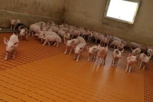 Skala produkcji świń musi odpowiadać potrzebom rynku