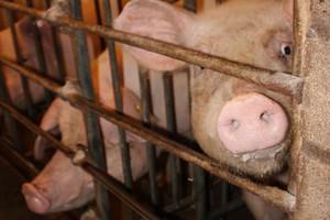 W krajach Wspólnoty utrzymują się spadkowe ceny wieprzowiny