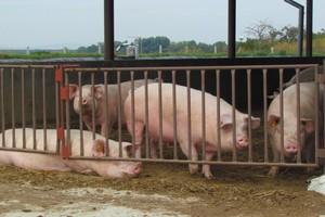 Jesienne ceny wieprzowiny nie poprawiają opłacalności produkcji