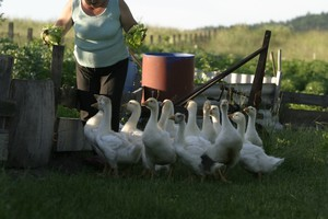 Szkolenia o przyzagrodowej hodowli gęsi