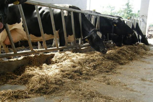 Zmiana grupy – stres dla krowy