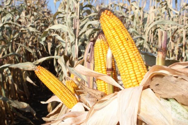 Bliskie odwrócenie trendu spadkowego na kukurydzy