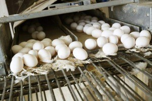 Białoruś: drożeją chleb, drób i jajka