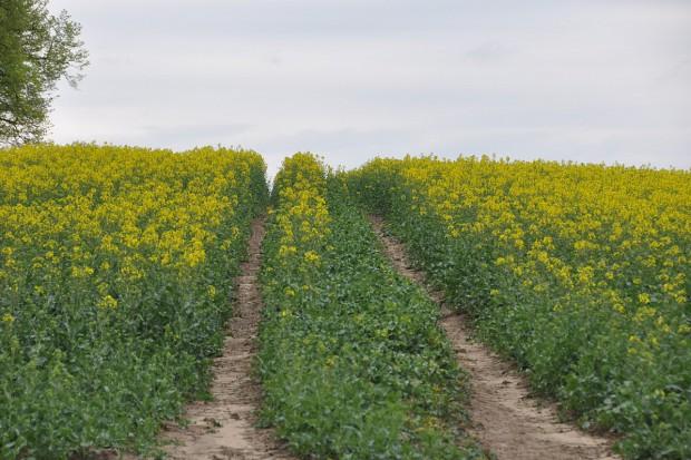 Rekordowo wysoka produkcja oleistych na Ukrainie