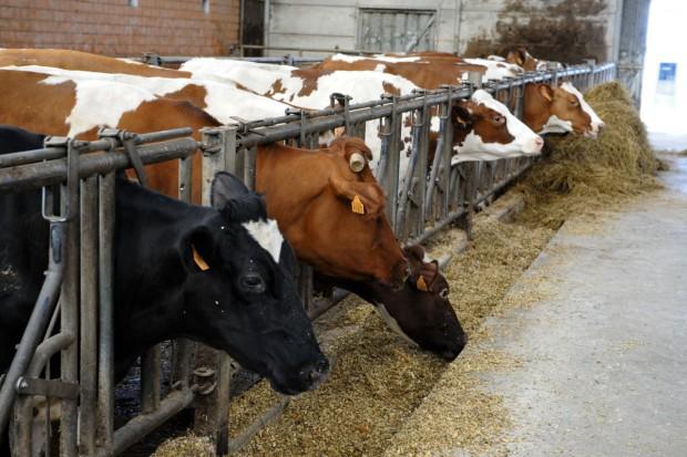 UE wyda najwięcej na zwalczanie gruźlicy bydła