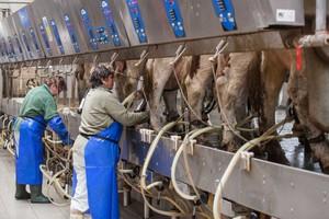 Dobra sytuacja na rynku mleka zachęca do przekroczenia kwot