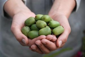 Mini kiwi - nowy owoc wprowadzany do uprawy towarowej przez naukowców SGGW