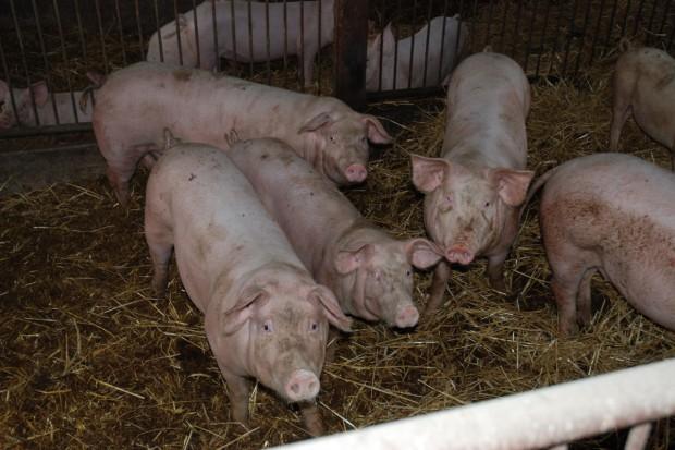 Z ubojem świń jak za okupacji