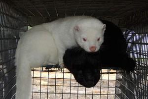 Zwierzęta futerkowe rentowną alternatywą