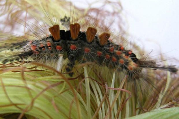 Mało znane gatunki owadów występujące na kukurydzy