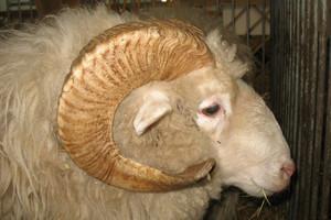 Owce do ubojni wożą setki kilometrów