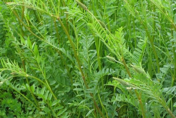 Esparceta siewna - wszechstronna roślina uprawna