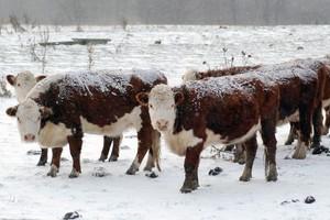 Ceny bydła nieco w górę – przeważyła pogoda