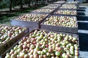 Nowa choroba przechowalnicza jabłek