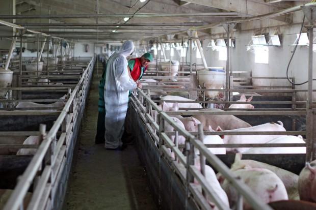 ASF w UE, import wieprzowiny do Rosji wstrzymany