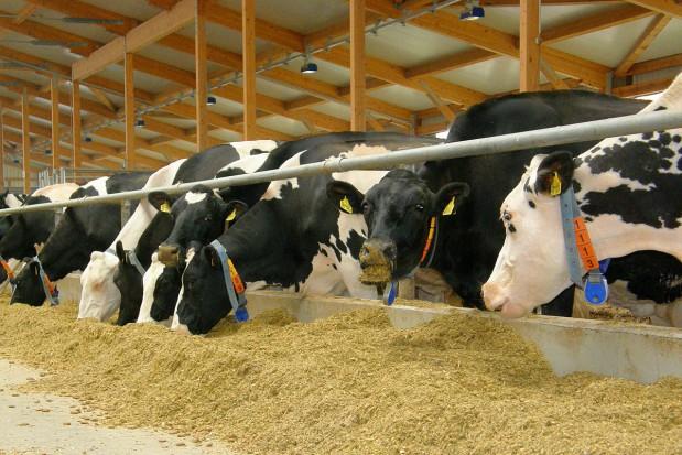 Ketoza ciągle problemem w hodowli bydła