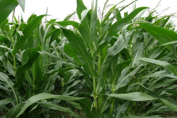 Kukurydza na kiszonkę – teraz wybór