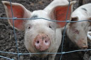 Komisarz chce jechać do Rosji ws. zakazu importu wieprzowiny z UE
