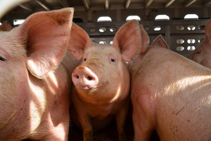 Niewielki wzrost produkcji wieprzowiny w UE do 2023 roku