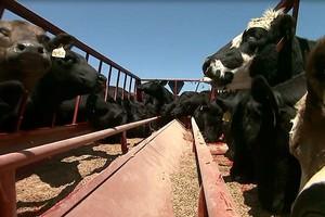 Hodowcy bydła mięsnego sami walczą o swoje