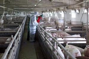Nowe ogniska afrykańskiego pomoru świń w Rosji i na Ukrainie