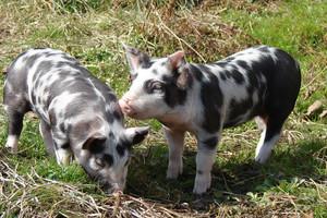 Za małe dopłaty do tradycyjnych świń