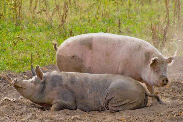 W związku z ASF weterynarze zbadają więcej świń
