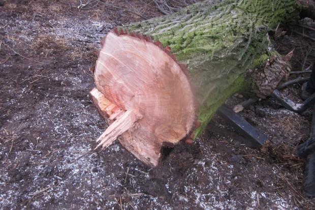 Wycinka drzew - kiedy jest legalna