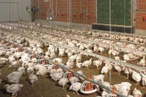 KRD-IG: ASF nie dotczy sektora drobiowego